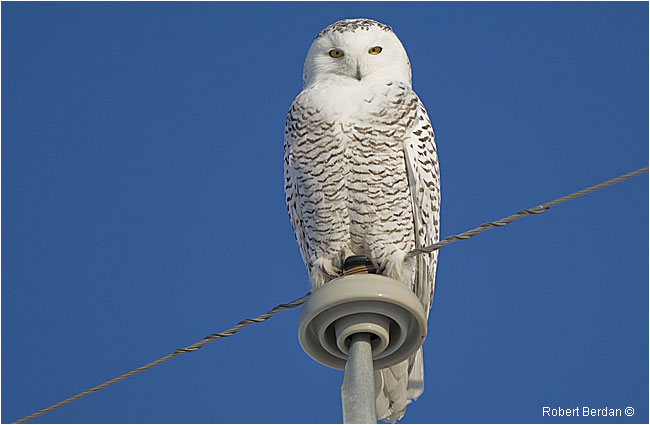 White Ghosts Of The Prairies Photographing Snowy Owls